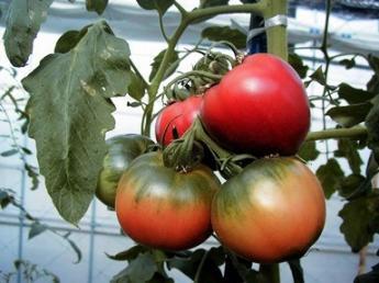 トマトの安定供給を目指し、規模拡大中!